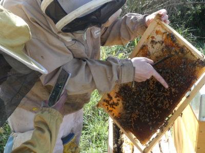 Pointage d'une reine sur un cadre d'abeilles
