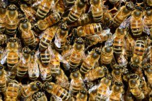 abeilles buckfast
