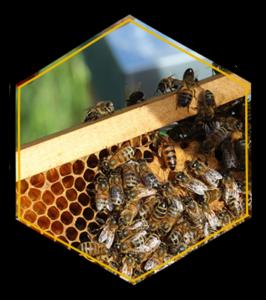 L'élevage de reines de Maison Bee
