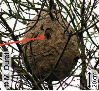 Nid secondaire d'un frelon asiatique perché dans les arbres
